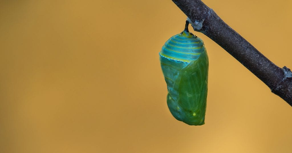 monarch butterfly in newly formed chrysalis