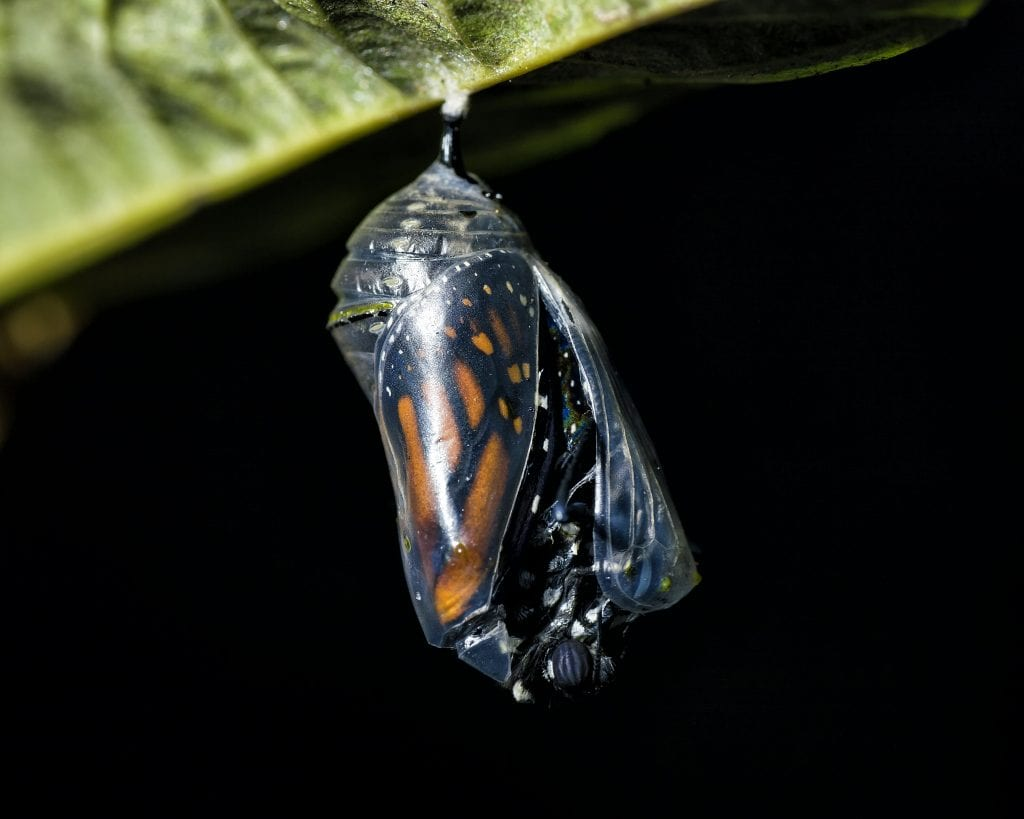 monarch butterfly end stage cocoon