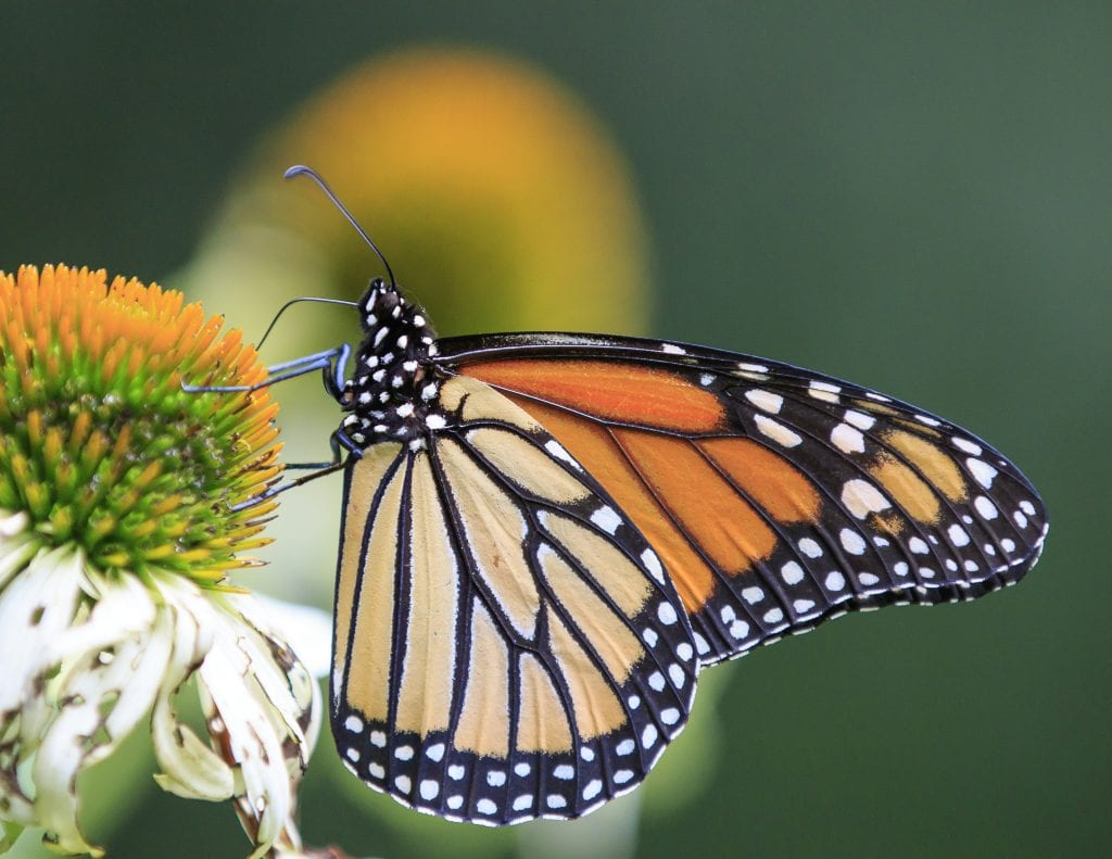 Fully developed monarch butterfly